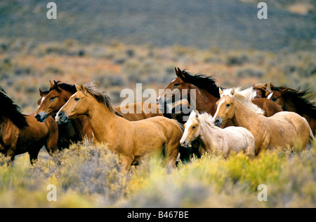 Wild horses running high desert. - Stock Photo