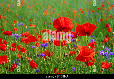 Poppies and other flowers in field BERGSTRASSE BADEN - WURTTEMBURG GERMANY - Stock Photo