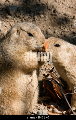 Two Black tailed Prairie Dogs eating - Stock Photo