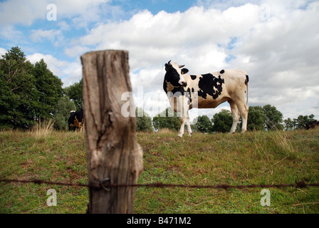 Cow on a pastureland, Masovia region in Poland - Stock Photo