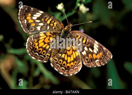 Phaon Crescent Phyciodes phaon Tamaulipas Gomez Farias MEXICO 29 October Adult Nymphalidae Nymphalinae - Stock Photo