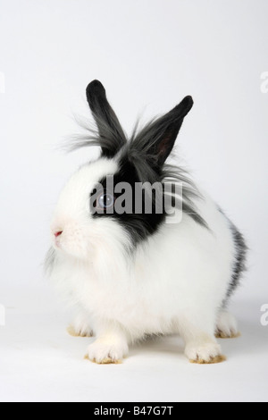 Lion maned Dwarf Rabbit black and white 13 weeks Domestic Rabbit - Stock Photo