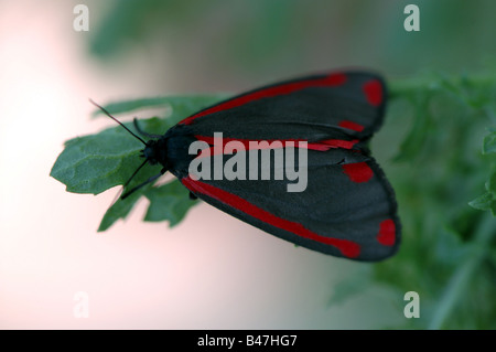 A Cinnabar moth in resting position - Stock Photo