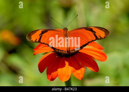 Dryas iulia or Julia Butterfly - Stock Photo