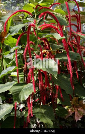 Love-lies-bleeding aka Pendant Amaranth, Tassel Flower, Velvet Flower, Foxtail Amaranth and Quilete, Amaranthus - Stock Photo