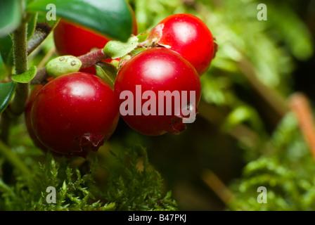 Vaccinium vitis-idaea  close-up 2 - Stock Photo