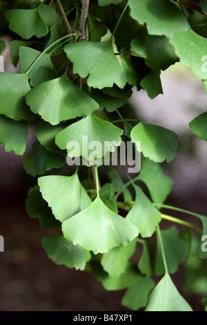 Leaves of the Maidenhair Tree, Ginkgo biloba, Ginkgoaceae, South East China - Stock Photo