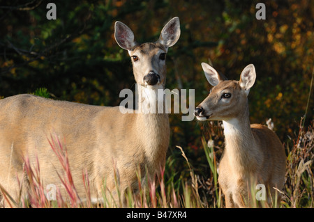 Whitetail deer 0803 - Stock Photo