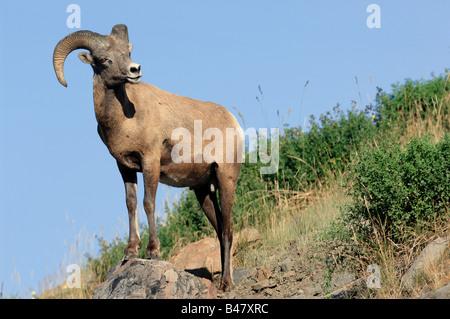 Bighorn sheep 0819 - Stock Photo