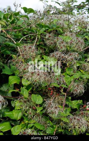 Clematis vitalba old mans beard traveler's joy growing in hedgerow showing seed head plumes Norfolk UK September - Stock Photo