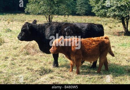 zoology / animals, mammal / mammalian, wisent, European bisons, (Bison bonasus), with calf, standing on meadow, - Stock Photo