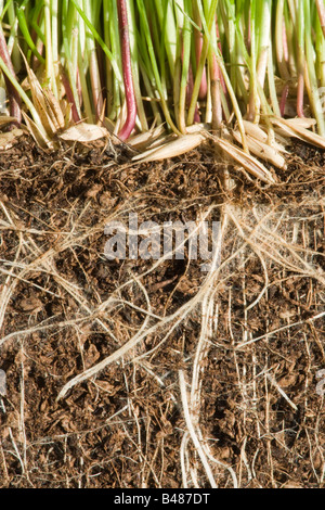 Grass germinating, showing roots underground - Stock Photo