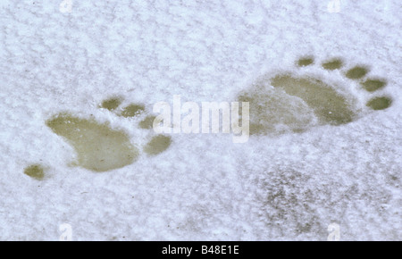 zoology / animals, mammal / mammalian, bear, polar bear, (Ursus maritimus), track, Churchill, Canada, distribution: - Stock Photo