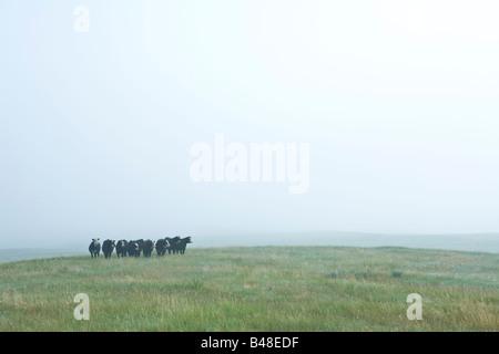 Cattle in North Dakota Missouri River - Stock Photo