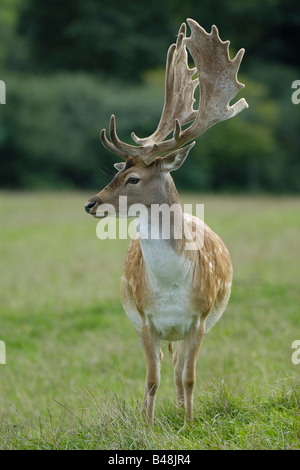 Damhirsch Fallow Deer Cervus dama - Stock Photo