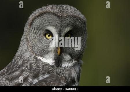 Bartkauz Great Grey Owl Lapland Owl Strix nebulosa - Stock Photo