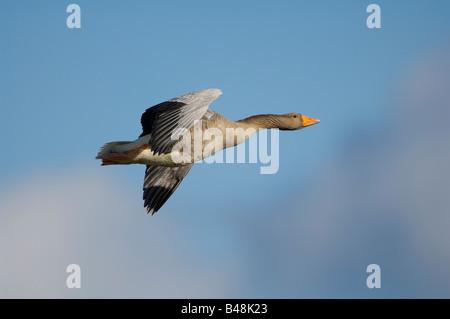 Graugans Grey lag Goose Anser anser - Stock Photo