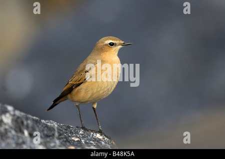 Steinschmaetzer Northern Wheatear Oenanthe oenanthe - Stock Photo