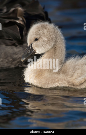 Trauerschwan Schwarzer Schwan Cygnus atratus Kuecken Junges Jungtier Niederlande black swan youngster chick Netherlands - Stock Photo