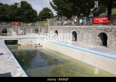 seals in the convalescence pool national seal sanctuary cornwall - Stock Photo
