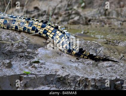Saltwater Crocodile (Crocodylus porosus) tail on river bank of the Kinabatangan River; Sabah; Borneo; Malaysia - Stock Photo