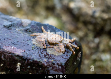 broad clawed porcelain crab Porcellana platycheles - Stock Photo