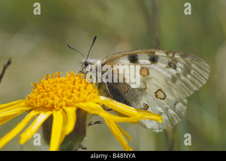 butterfly mountain Parnassius apollo Apollo lepidotteri papilionidi ropaloceri farfalle diurne prato prateria alpina - Stock Photo