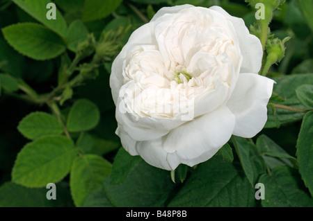 Damask Rose (Rosa x damascena), variety: Madame Hardy, flowers - Stock Photo