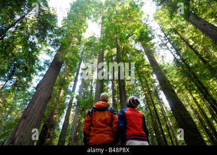 Giant redwoods along the Avenue of the Giants in Humboldt Redwoods State Park, Humboldt County, California, USA - Stock Photo