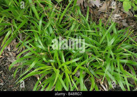 Great Wood Rush (Luzula sylvatica) - Stock Photo