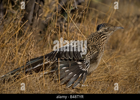 Greater Roadrunner (Geococcyx californianus)  - Stretching - Arizona - Stock Photo