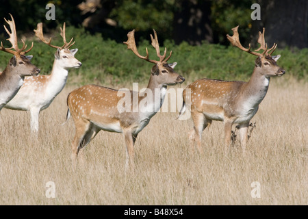 Group adult deer standing in parkland - Stock Photo