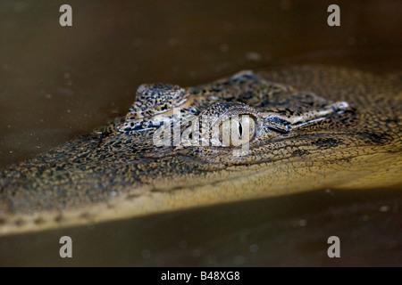 Saltwater Crocodile (Crocodylus porosus) lurking in the water for prey Kinabatangan River Sabah Borneo Malaysia - Stock Photo