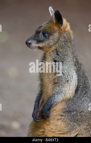 Red necked Wallaby - Macropus rufogriseus - Stock Photo