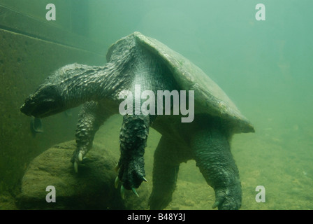 A large alligator snapping turtle (Chelydra serpentina) in captivity rests at the bottom of its tank. - Stock Photo