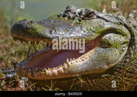 Australian Estuarine salt water crocodile Crocodylus porosus - Stock Photo