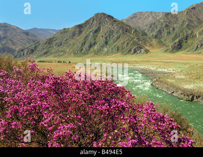 Rhododendrons bloom on the bank of the Katun River. Teldekpen Rapid. Altai mountains. Russia - Stock Photo