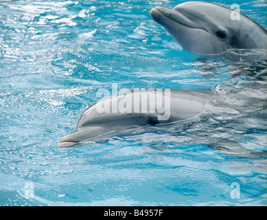 two bottlenose dolphins in a pool swiming smiling and having fun playing with their heads and eyes above water - Stock Photo