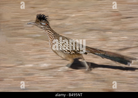 Greater Roadrunner [Geococcyx californianus]Running in Sonoran Desert of Arizona - USA - Stock Photo