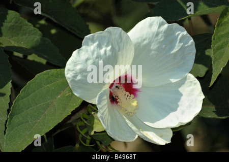 Swamp Rose Mallow - Stock Photo