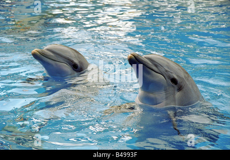 two bottlenose dolphins in a pool lift their heads above water smile and have fun playing - Stock Photo