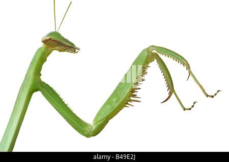 Cut-out of a Green Praying Mantis taken on Ko Yao Yai island in the Andaman sea near Krabi, Thailand - Stock Photo