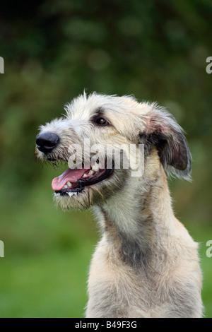 Irish Wolfhound 6 month - Stock Photo