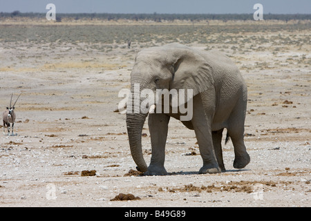 African Elephant Loxodonta africana at waterhole Etosha National Park Namibia - Stock Photo