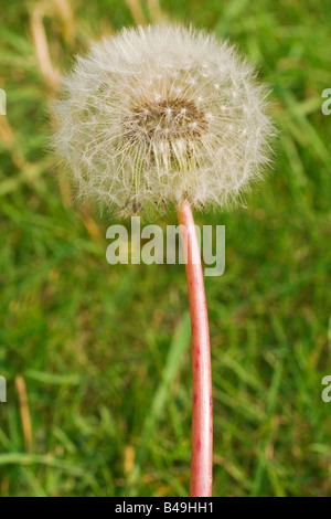 A colour macro portrait photograph of a dandelion. View from the side. Close up (macro) - Stock Photo