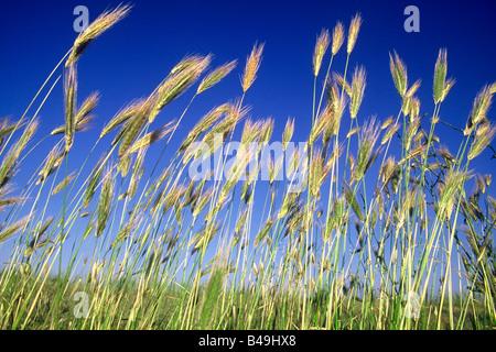 grain in the wind - Stock Photo