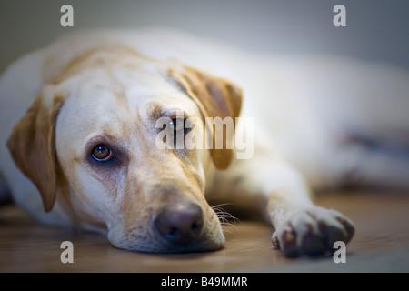 Yellow Labrador Retriever, lying on the floor. - Stock Photo