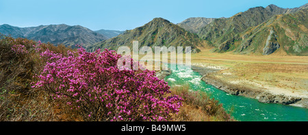 Rhododendrons bloom on the bank of the Katun River. Altai mountains. Russia - Stock Photo