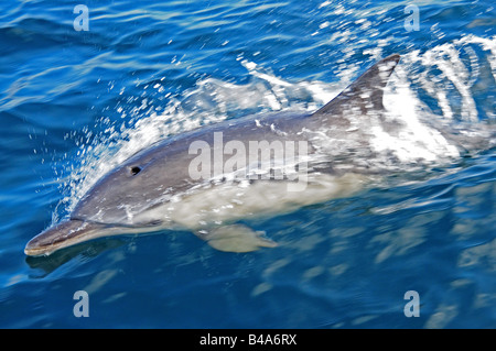 common dolphin delphinus delphis in european waters at speed on the surface - Stock Photo