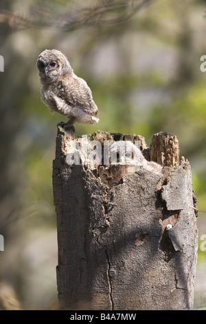 zoology / animals, avian / bird, Tawny Owl, (Strix aluco), two owls sitting on tree trunk, distribution: Europe, - Stock Photo
